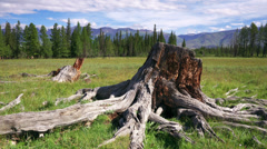 4K Tree Stump and roots Stock Footage