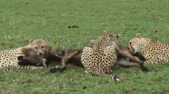 Cheetah killing a wildebeest 2 Stock Footage