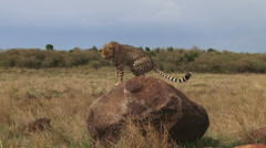 Cheetah going to tilet on a rock Stock Footage