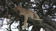 Stock Video Footage of A lion hiding in a shade on a tree