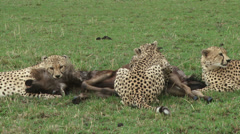 Cheetah killing a wildebeest 3 Stock Footage