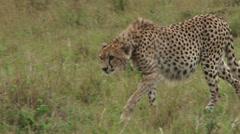 Cheetah walks towards the camera Stock Footage