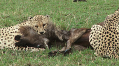 Cheetah killing a wildebeest 1 Stock Footage