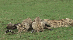 Cheetahs finish killing a wildebeest 3 Stock Footage