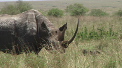 Black rhino walking in the plains of mara 1 Stock Footage