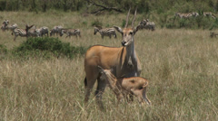 Eland with a baby Stock Footage