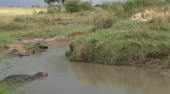 Lions plan how to eat a hippo in the water Stock Footage