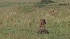 Hyenas watching a lion eating Stock Footage