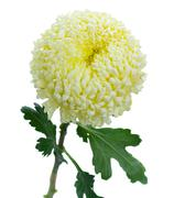 One chrysanthemum flower Stock Photos