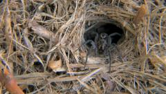 Garden Wolf Spider at entrance to its burrow Stock Footage