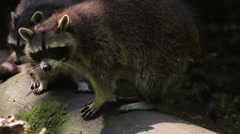 Two Raccoons - stock footage