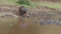 Hippo walks close to a crocodile Stock Footage