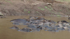 Hippo moving dead wildebeests to create space for himself Stock Footage