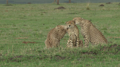 three cheetahs grooming each other - stock footage