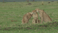 Stock Video Footage of three cheetahs grooming each other