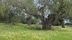 Old Carob Trees Stock Footage