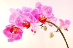 beautiful pink streaked orchid flower - stock photo