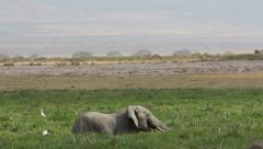 African elephant in marshland, African safari, Amboseli National Park, Kenya Stock Footage