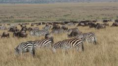 Wildebeest and zebras grazing Stock Footage