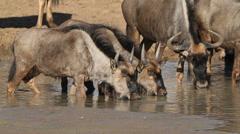 Wildebeest drinking water Stock Footage