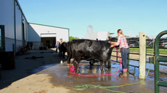 Black Angus Cow Washed & Groomed Stock Footage