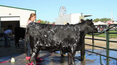 Black Angus Cow being Washed & Groomed Stock Footage