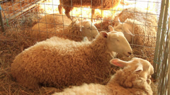 White Wooly Sheep Stock Footage