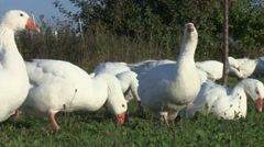 Cackling Domestic Geese Stock Footage