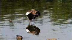 Egyptian Goose Preening Stock Footage