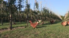 Domestic chicken in an apple orchard, organic farming Stock Footage