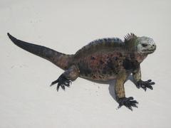 Reptile on the beach Stock Photos