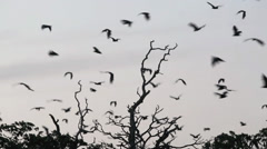 Bat colony flying in sky at dusk Stock Footage