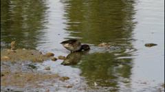 Female Mallard Duck feeding at the edge of a lake Stock Footage