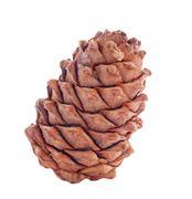 Stock Photo of cedar cone