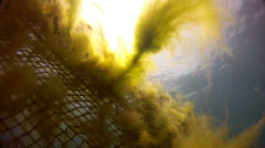 Black sea yellow algae Stock Footage
