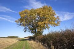 Autumn ash tree Stock Photos