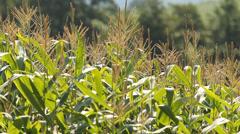 Fresh corn field Stock Footage