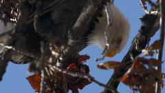 Bald Eagle in Tree Gorging on Bloody Fish Carcass close 1 Stock Footage