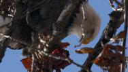Stock Video Footage of Bald Eagle in Tree Gorging on Bloody Fish Carcass close 1