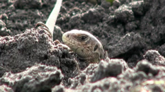 Lizard Head Stock Footage