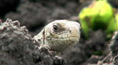 Lizard is watching blinks, sleeps Stock Footage
