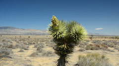 Joshua Tree in Mohave Desert Stock Footage