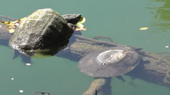 Amid Nature - Snapping & Softshell Turtle Share a Log - stock footage