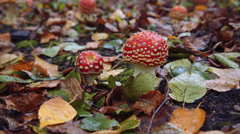 Fly Agaric in the Autumn Stock Footage