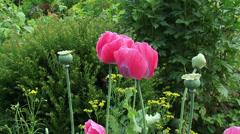 Papaver somniferum or breadseed poppy - pink flowers Stock Footage