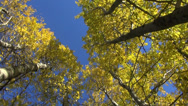 Stock Video Footage of golden aspen tree in autumn forest and camera rotation