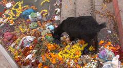 Black goat eating hindu ritual flowers on Ganges river coast, Varanasi,India Stock Footage