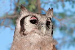 Giant eagle-owl Stock Photos