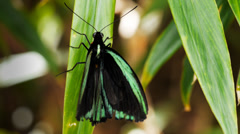 Green butterfly Stock Footage