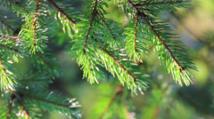 fir twigs close-up - stock footage